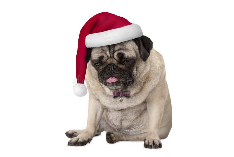 与红色圣诞老人帽子的滑稽的脾气坏的面对的哈巴狗小狗坐下的圣诞节的 免版税库存图片