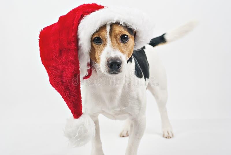 与红色圣诞老人帽子的逗人喜爱的狗小狗 库存图片