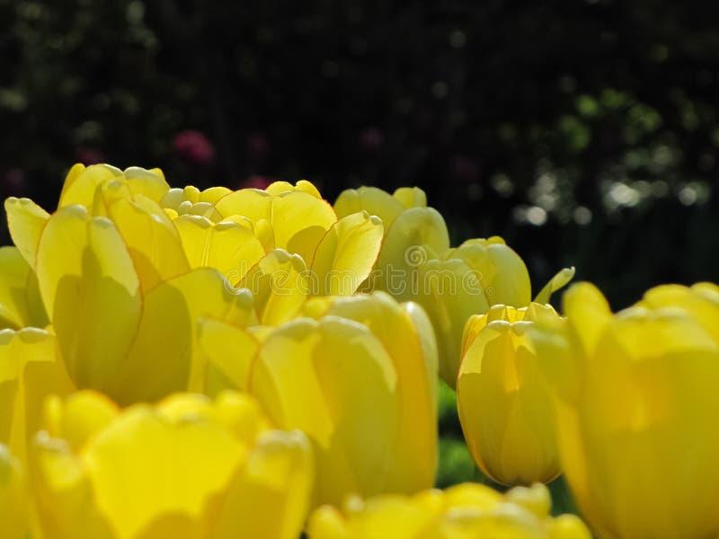 与红色外缘的黄色郁金香 库存照片