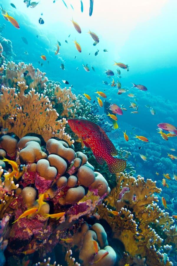 与红色异乎寻常的鱼cephalopholis的珊瑚礁在热带海底部  免版税库存图片