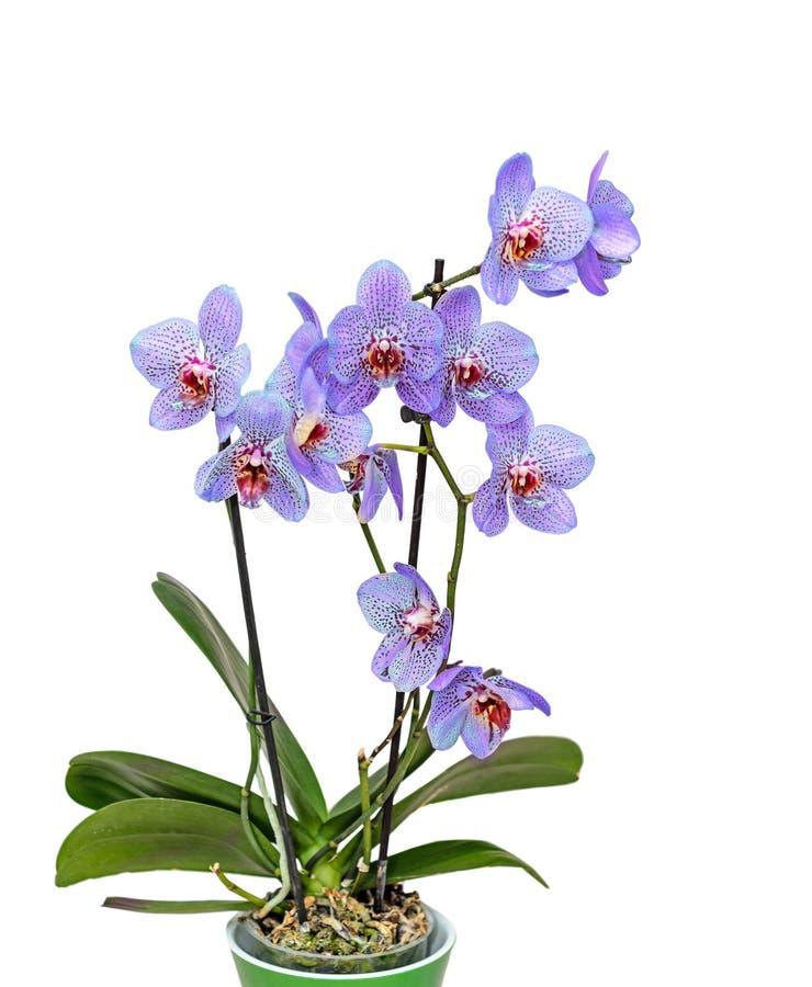 与红色斑点兰花关闭的淡紫色紫罗兰分支开花 库存照片