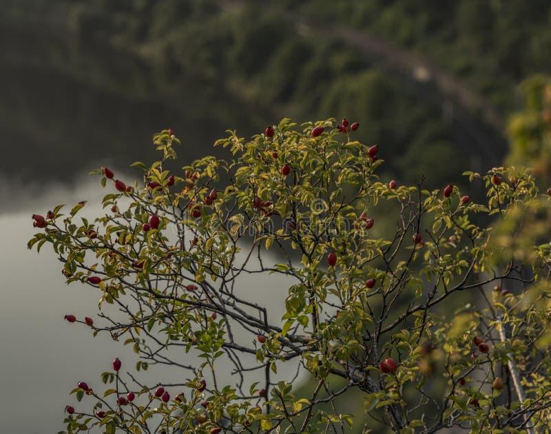 与红色果子球的石南木灌木 免版税库存照片