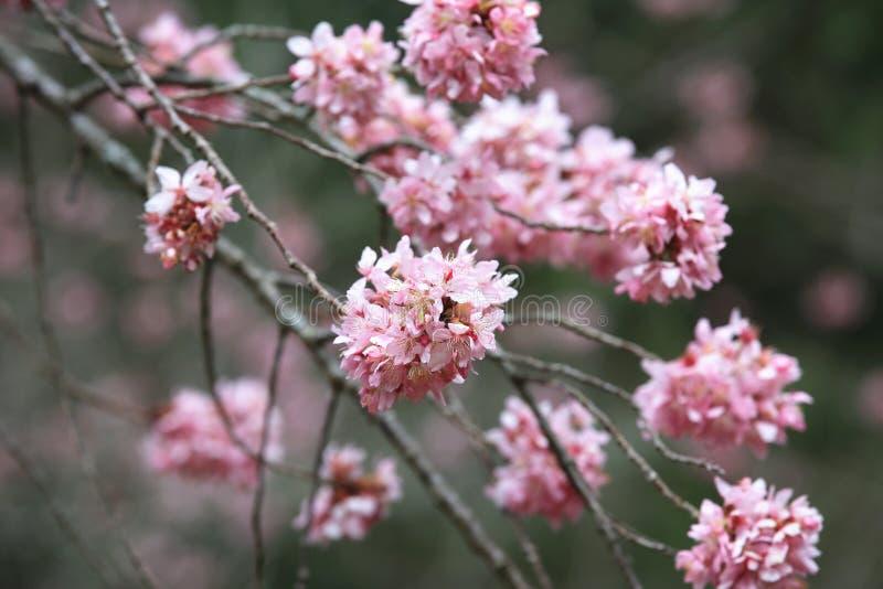 与红色樱花的桃红色开花特写镜头 库存照片