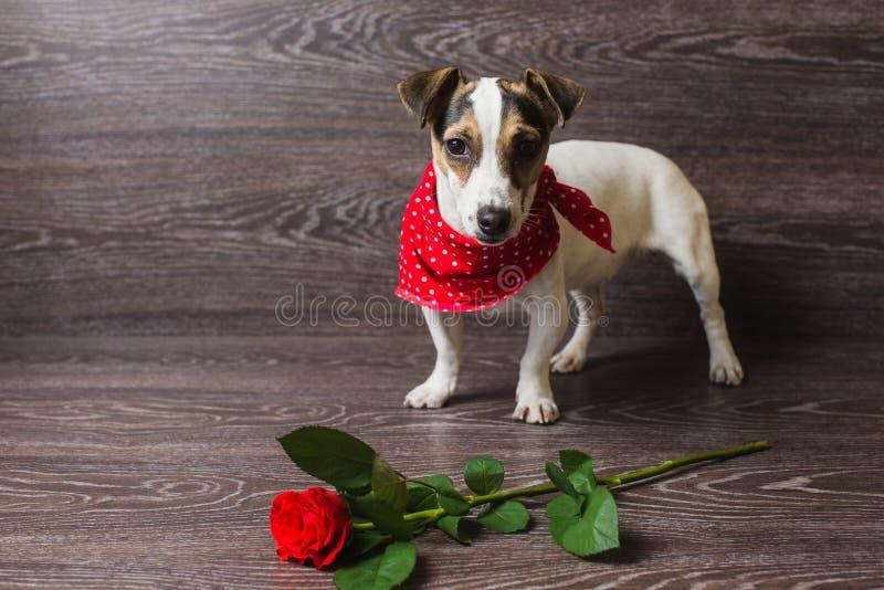 与红色玫瑰的杰克罗素狗 库存照片