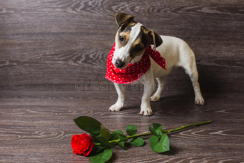 与红色玫瑰的杰克罗素狗 免版税图库摄影