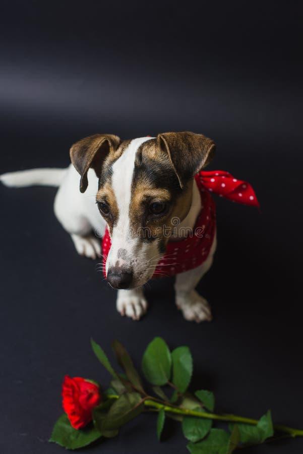 与红色玫瑰的杰克罗素狗 免版税库存照片
