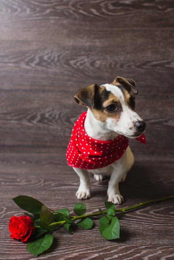 与红色玫瑰的杰克罗素狗 库存图片