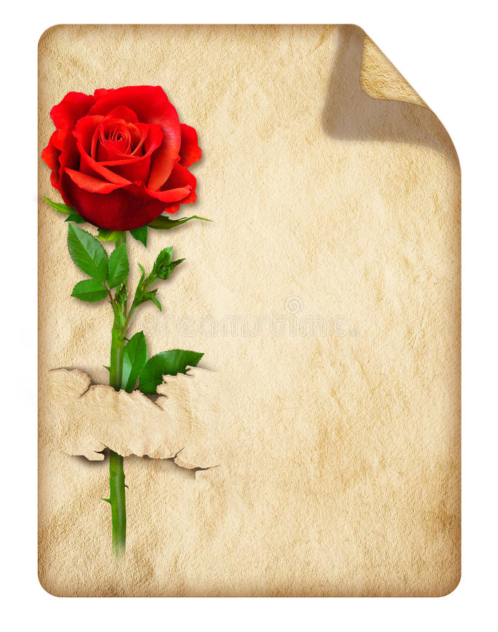 与红色玫瑰的老卷曲纸 库存照片