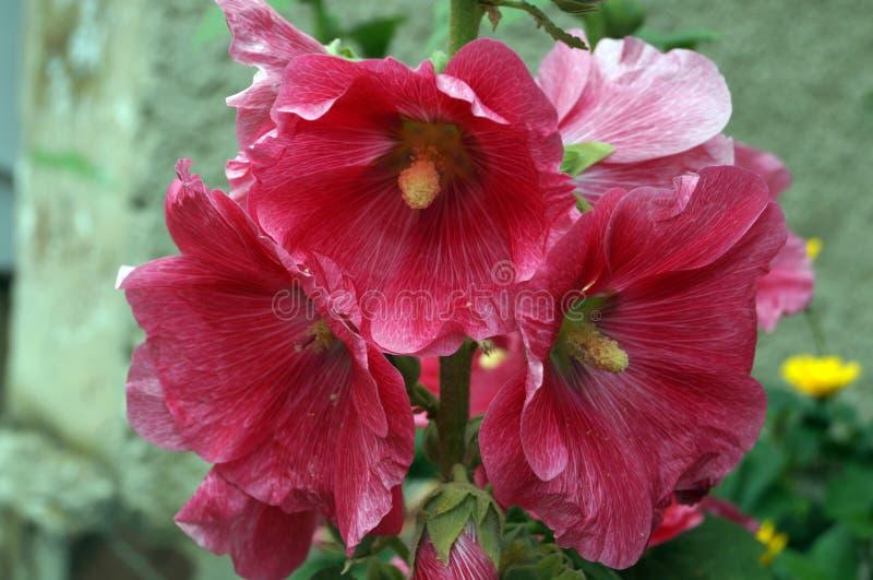 与红色瓣的冬葵花 免版税库存图片