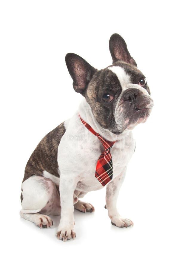 与红色瓦片领带倾斜的头的逗人喜爱的疑问法国牛头犬 免版税库存照片