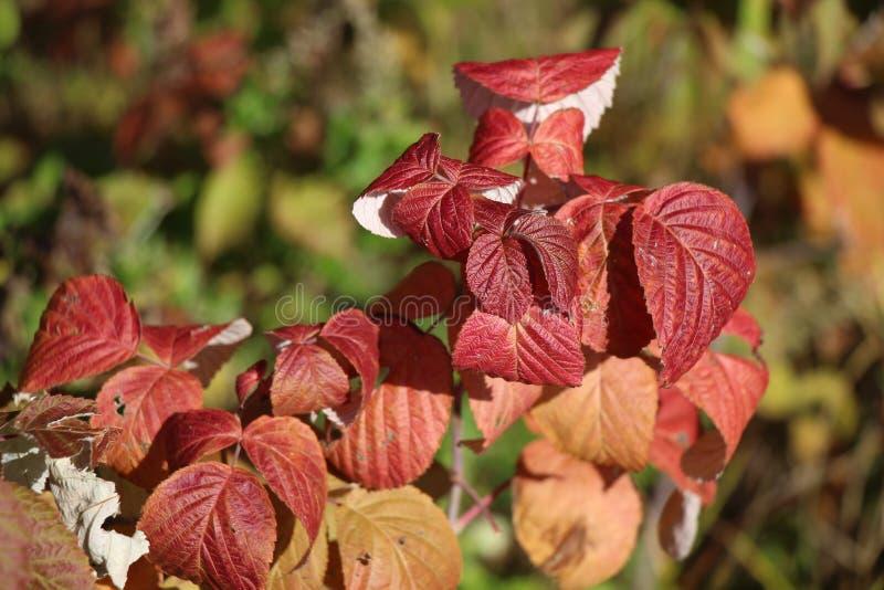 与红色的莓分支在被弄脏的背景/特写镜头/抽象离开/ 库存照片