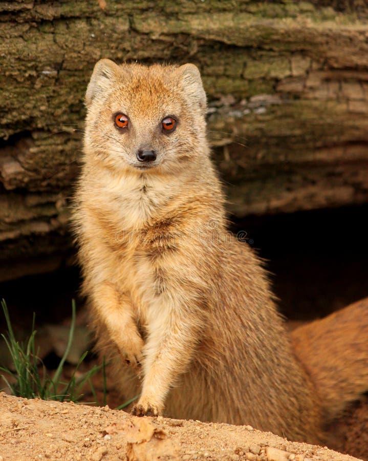与红色眼睛的苗条猫鼬 免版税库存照片