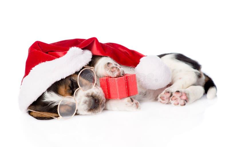 与红色礼物盒和圣诞老人帽子的逗人喜爱的贝塞猎狗小狗 孤立 免版税库存图片