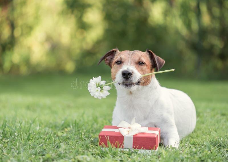 与红色礼物盒和花的狗作为情人节卡片 库存照片