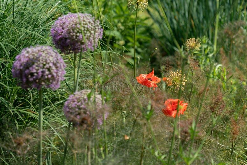 与红色罂粟属rhoeas鸦片和紫色葱属giganteum巨型葱的花床 库存照片