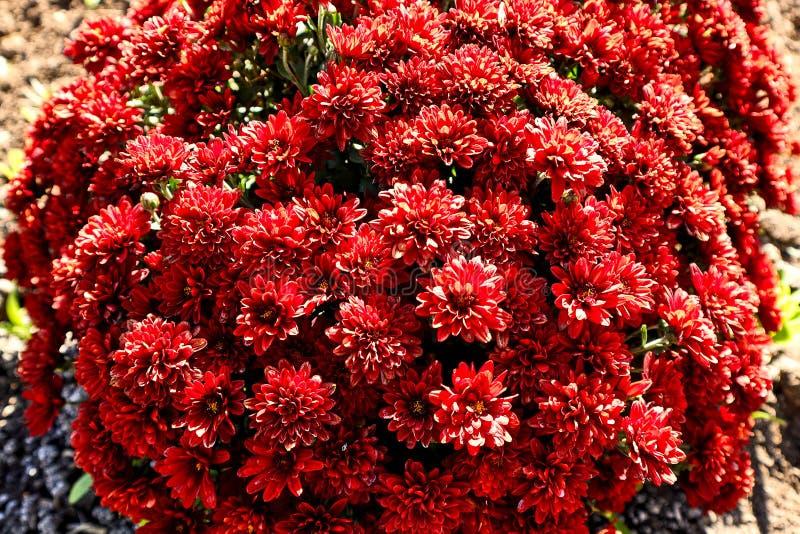 与红色花,花的明亮的美丽的开花的灌木在庭院里 库存照片