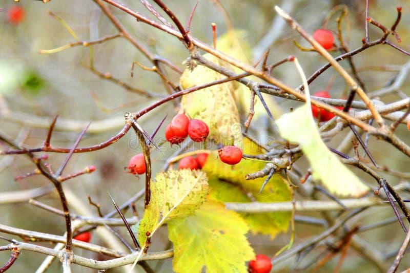 与红色莓果秋天的野玫瑰果灌木 免版税库存照片