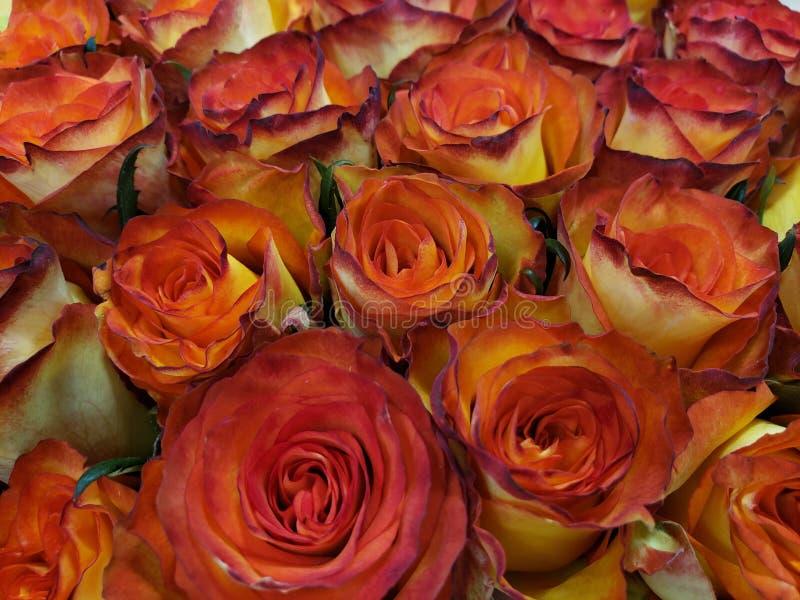 与红色边缘的黄色玫瑰色花在爱、背景和纹理礼物的百花香  免版税库存照片