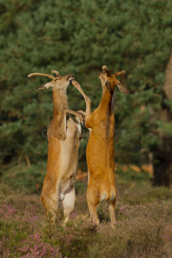 与红色雄鹿战斗的鹿 免版税库存图片