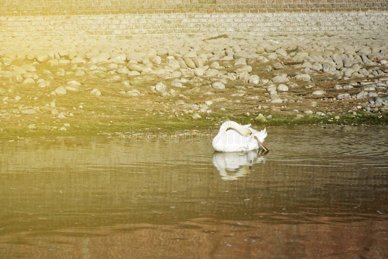 与红色额嘴游泳的美丽的白色天鹅在湖 免版税库存照片
