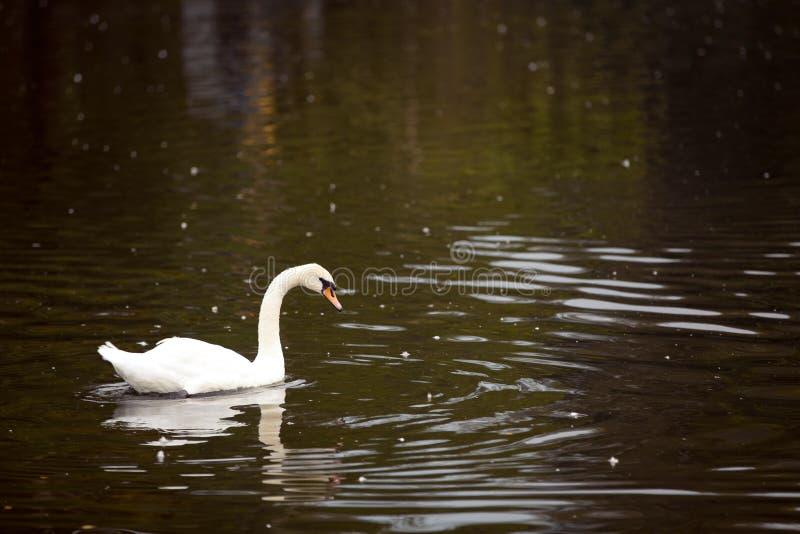 白色天鹅在水中 免版税库存图片