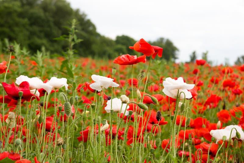 与红色鸦片和白花的五颜六色的夏天领域 免版税库存照片