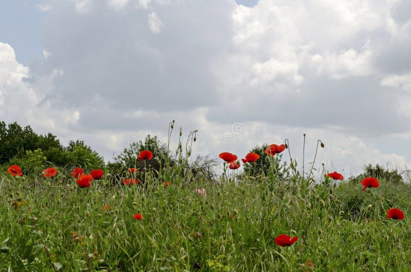 与红色鸦片或罂粟属野花的开花和芽的新草地在镇拉兹格勒里 免版税库存照片