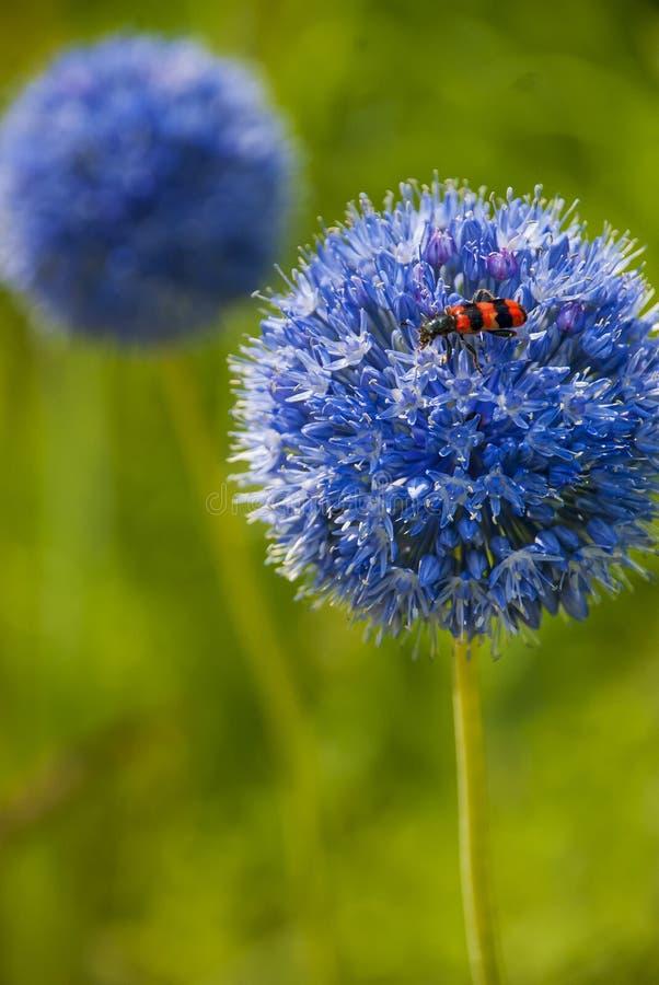 与红色beattle的葱属caeruleum 免版税库存照片