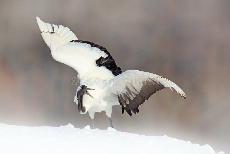 与红被加冠的起重机在草甸,北海道,日本的降雪 哺养的鸟,与雪花的冬天场面 日落与 图库摄影