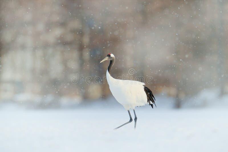 与红被加冠的起重机在草甸,北海道,日本的降雪 哺养的鸟,与雪花的冬天场面 起重机在森林里 免版税库存照片