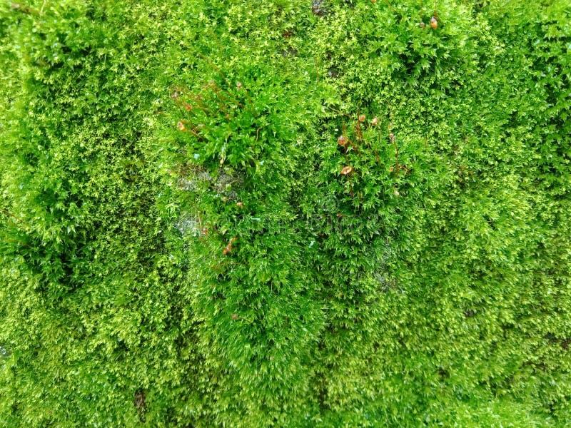 与纹理的绿色青苔,织地不很细背景墙纸 免版税图库摄影