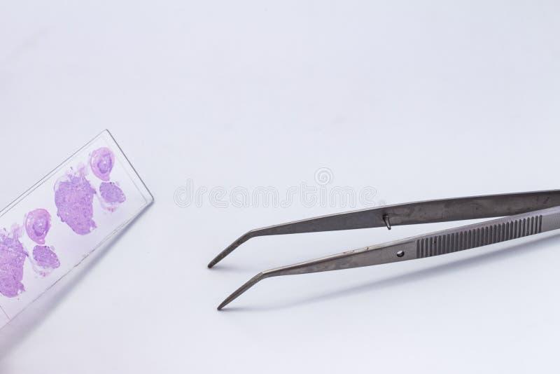 与组织学切片检查法片断的小玻璃在白色背景的 小金属钳位 库存图片
