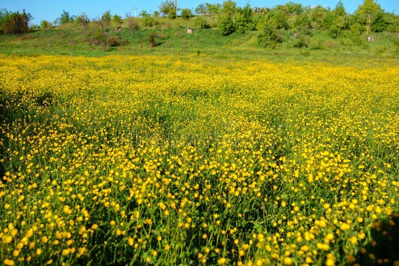 与织地不很细天空和母牛吃草牧群的夏天风景在领域的,长满与黄色花 背景 免版税库存照片