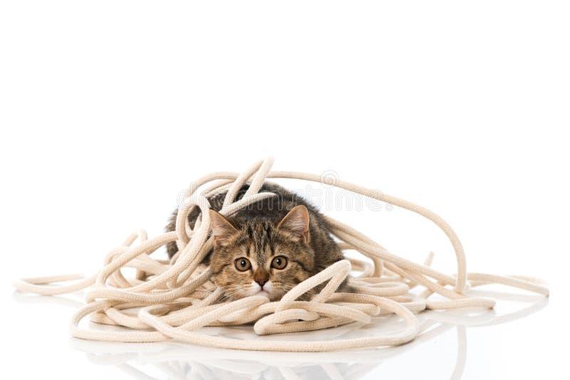 与绳索的平纹小猫 图库摄影