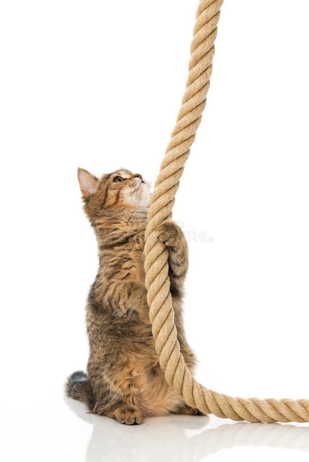 与绳索的平纹小猫 免版税图库摄影