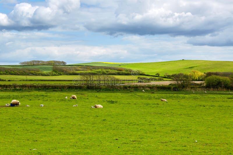 与绵羊和羊羔的田园诗风景 图库摄影