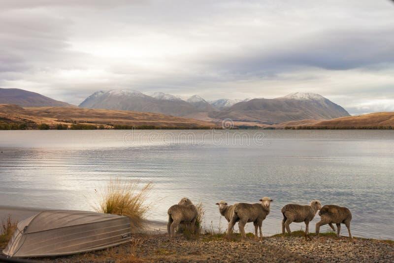 与绵羊的New Zealand湖侧视图 库存照片
