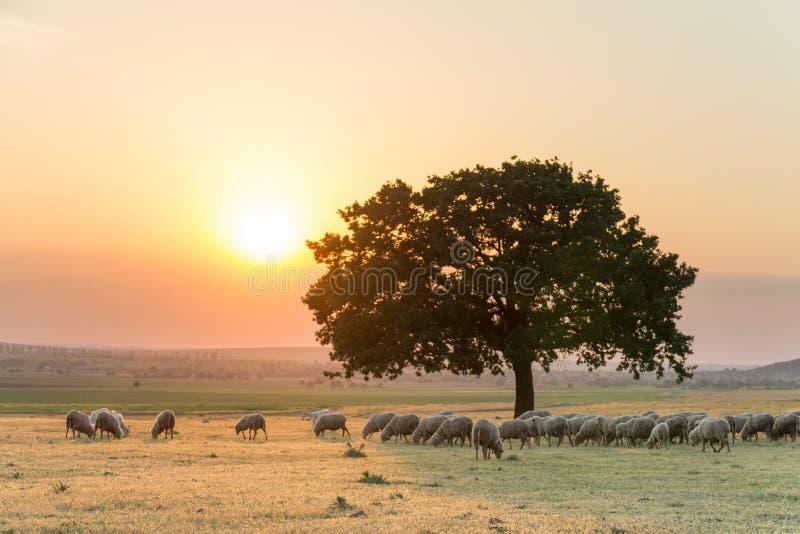与绵羊群和一棵大偏僻的树的美好的农村风景在金黄小时设置光  免版税库存照片