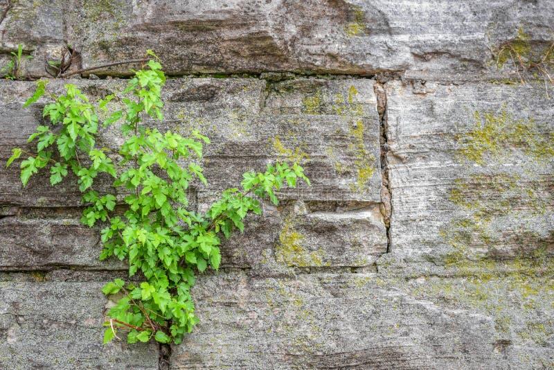 与绿叶和青苔的石墙背景 图库摄影