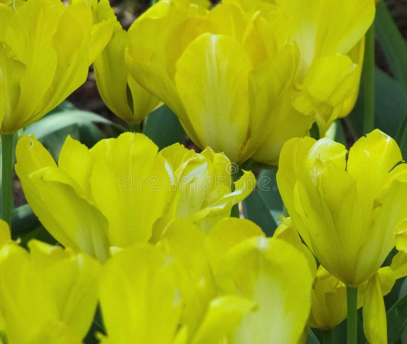 与绿色口音的宏观黄色郁金香 免版税图库摄影