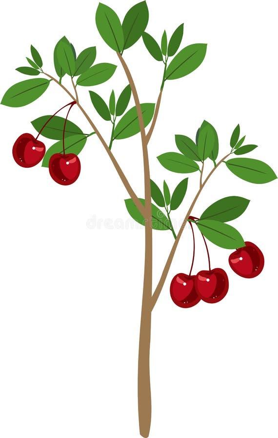 与绿色叶子和成熟樱桃的樱桃树结果实. 空白, 叶子.图片