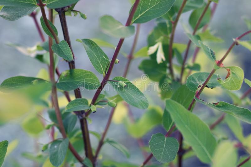 与绿色叶子和果子特写镜头的新的忍冬属植物分支 免版税库存照片