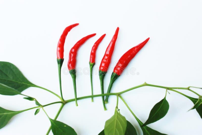 与绿色叶子和白色背景的红色辣椒种子 免版税库存照片