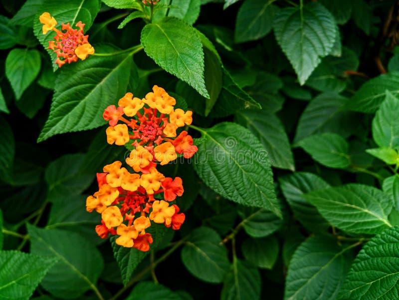 与绿色叶子的一朵美丽的花 免版税库存照片