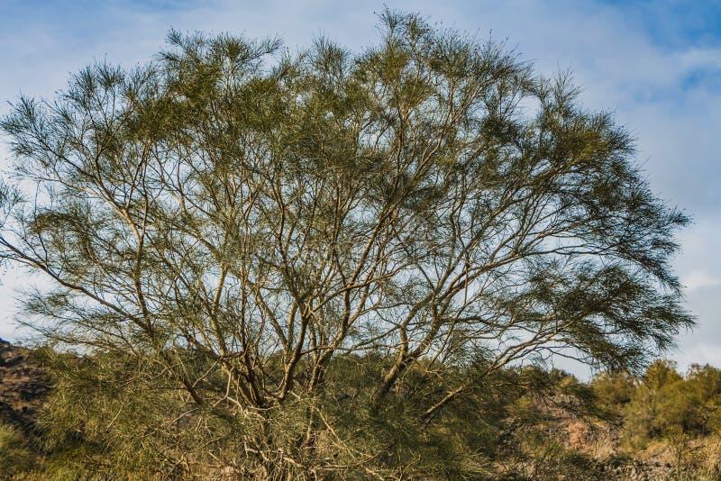 与绿色叶子的一棵美丽的老意想不到的多枝棕色木麻黄属的各种常绿乔木equisetifolia树在一个公园在秋天反对天空蔚蓝 免版税库存图片