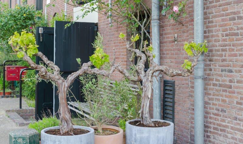 与绿色叶子的两棵葡萄树盆景在大罐外部在阿姆斯特丹,荷兰 街道绿化设计 免版税库存照片