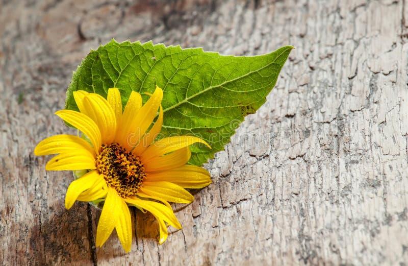 与绿色叶子的小黄色向日葵在老木背景, 库存照片
