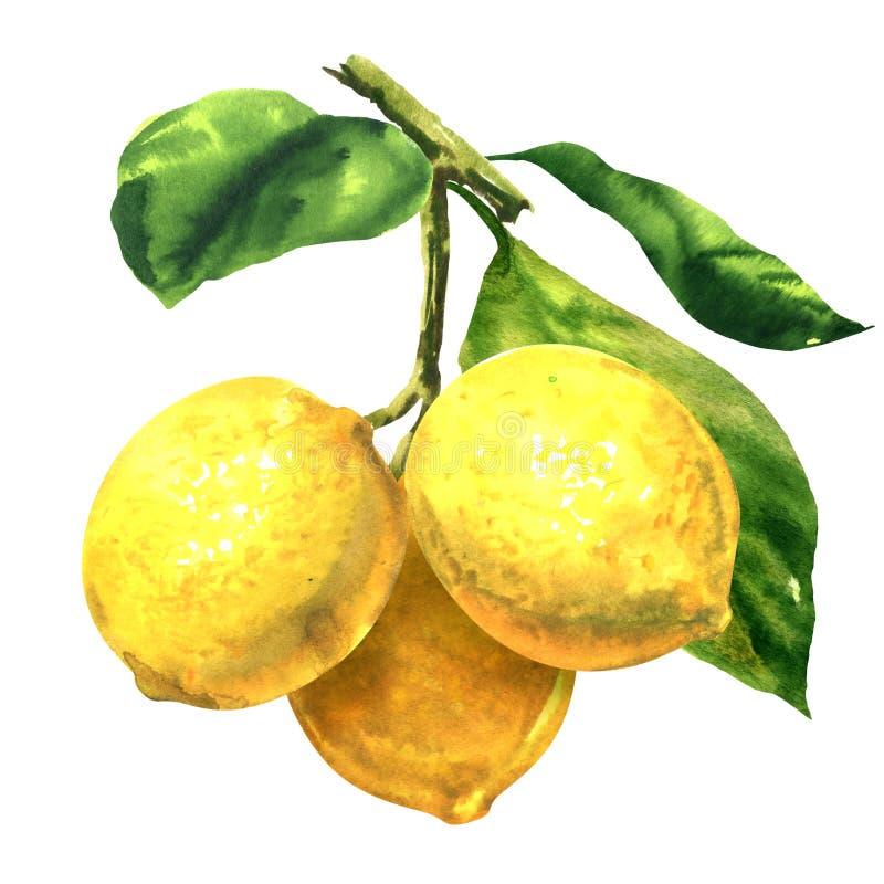 与绿色叶子的新鲜的三个黄色果子柠檬在分支,被隔绝的枝杈,在白色的手拉的水彩例证 库存例证