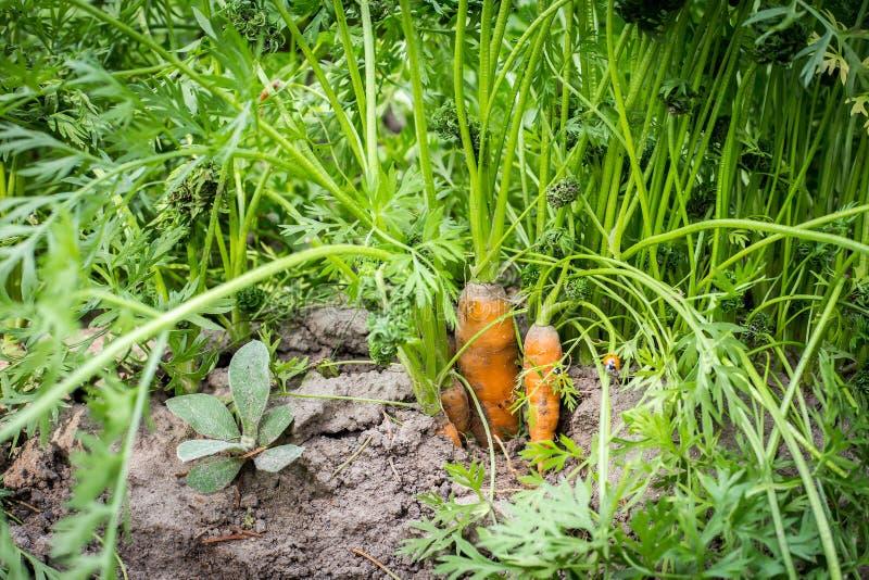 与绿色叶子的新鲜的有机红萝卜在地面 图库摄影