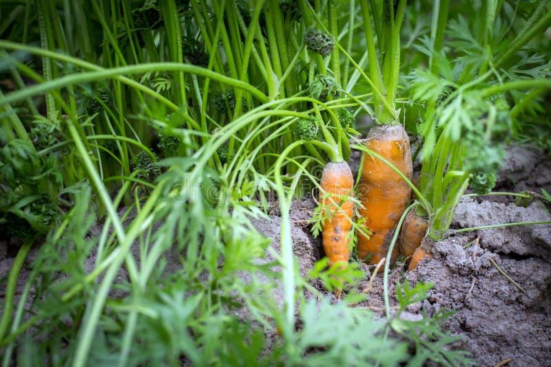 与绿色叶子的新鲜的有机红萝卜在地面 免版税库存图片